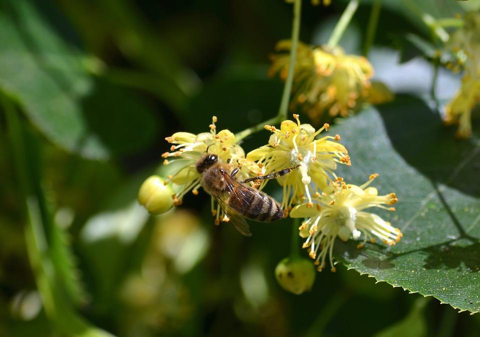 pszczoła-zbierajaca-nektar-z-kwiatów-lipy