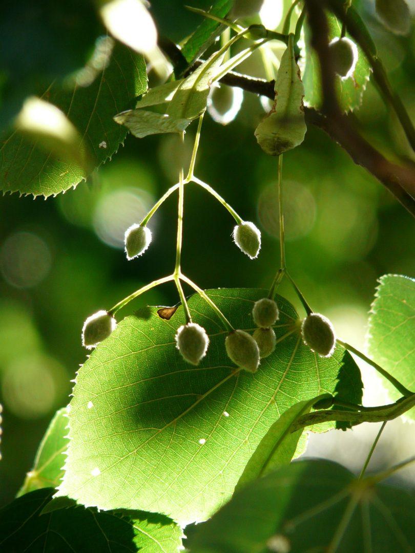 owoce-drzewa-lipowego