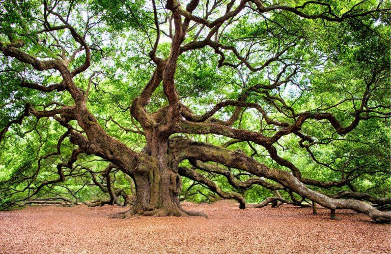 dlutapl-drzewo-dąb